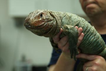 lizards-01